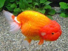 Aquarium Fish - Lionhead Goldfish Pictures