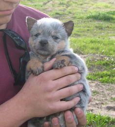 Austrailian Cattle Dog pup :)