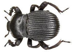Family: Tenebrionidae Size: 16-20 mm Location: Namibia, Omaruru leg U.Schmidt, 1994, det. M.Lillig Photo: U.Schmidt, 2006