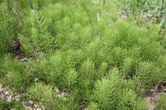 Medicinal Herb Horsetail