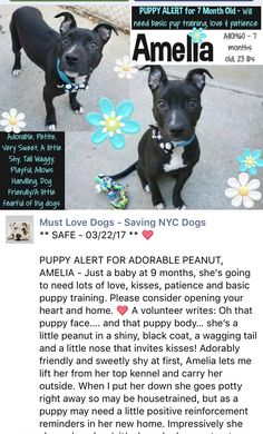 SAFE AGAIN❤️ 3/22/17❤️ GOOD LUCK LITTLE DIAMOND❤️ LOVE YOU❤️ /ij🐾🐾 RETURNED AGAIN 3/12/17 PETS CONFL!! SUPER URGENT MANHATTAN CENTER SAFE❤️❤️ 1/29/17❤️ PLEASE LOVE THIS DIAMOND FOREVER❤️ RETURN 01/28/17 LLORDPRIVA --- SAFE 01/21/17 --- AMELIA – A1101460 SPAYED FEMALE, BLACK / WHITE, AM PIT BULL TER MIX, 7 mos STRAY – STRAY WAIT, NO HOLD Reason STRAY Intake condition UNSPECIFIE Intake Date 01/12/2017 http://nycdogs.urgentpodr.org/amelia-a1101460/