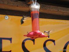 American hummingbirds (Somewhere,USA)