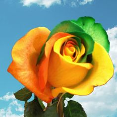 1000 images about roses on pinterest yellow roses for Where to buy rainbow roses