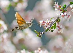 Hummingbird hawk moth.