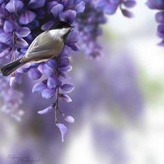 Bird in Wisteria