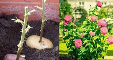 Indoor Plants, Propagating Plants, Plants, Home And Garden, Flowers, Succulents, Edible Garden, Growing Plants, Garden