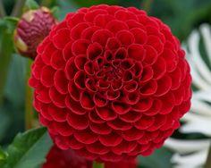 Hapet Red Marble Dahlia