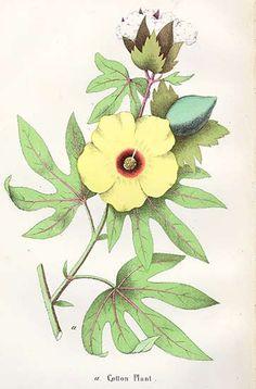 botanical print - cotton plant