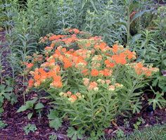 Ascelpias tuberosa - Butterfly Weed Milk weed is great for attracting butterflies. Grows in sandy soil.