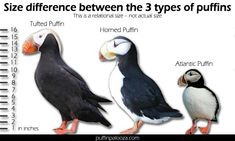 puffin_sizes