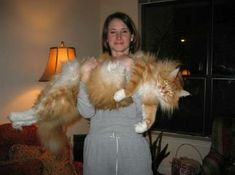 Riley, a Maine Coon. This fuzzy cat is a Maine Coon named Riley. According to his owner Martha, who is photographed holding him here, Riley weighed about 24 lbs Gatos Maine Coon, Chat Maine Coon, I Love Cats, Crazy Cats, Cool Cats, Fat Cats, Cats And Kittens, Ragdoll Cats, Siamese Cats