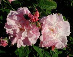 Celsiana (Palatine Roses)