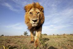 Adotta un Leone - Sostieni il WWF Italia