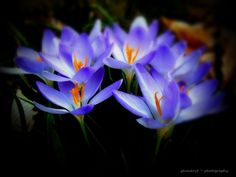 Sweet crocus.. by Amy Smith on 500px