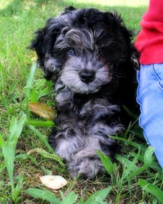 Pollyanna # cockapoo # puppy
