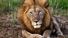 A lion caught on camera on a safari in South Africa