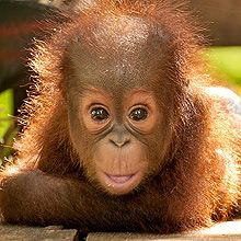 Have you read the stories about the Orangutans our adopt-an-ape program? Cute Animal Memes, Funny Animal Photos, Animal Pictures, Funny Animals, Cute Animals, Sumatran Orangutan, Baby Orangutan, Animals And Pets, Puppies