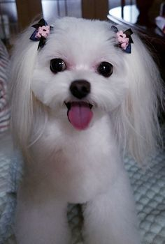 Get Your Dog Trained Today With These Simple Tips Teacup Puppies, Cute Dogs And Puppies, Pet Dogs, Doggies, Teacup Maltese, Maltese Poodle, Maltese Dogs, Cute Baby Dogs, Cute Baby Animals