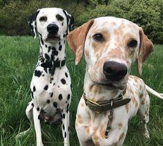 Khaleesi &Django- Dalmatians (@Lynn McDaniel.django.dalmatian)
