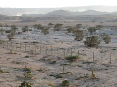 Frankincense Trees - Amazing Places, Wonderful People, Weird Stuff