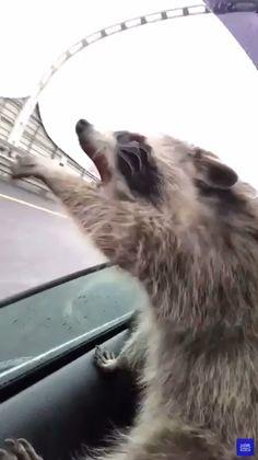 Funny Animal Videos, Funny Animal Memes, Funny Animal Pictures, Cute Little Animals, Cute Funny Animals, Funny Cute, Crazy Funny, Hilarious, Funny Dog Videos