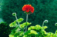 Find images of Geraniums. Herbs, Plants, Geranium Plant, Plant Images, Geraniums, Shrubs, Flowers, Floral
