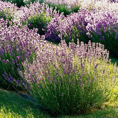 Lavender-down the slope by the path so it may be brushed against releasing fragrance