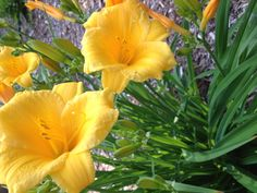 Day Lilly beauty