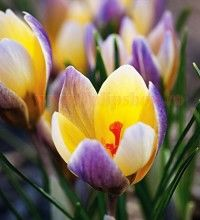 Buy Crocus chrysanthus 'Advance' from Sarah Raven: An unusual bi-colour form of crocus, with soft yellow-apricot inside and dusted purple outer petals. Garden Seeds, Flower Display, Spring Garden, Plants, Home Flowers, Bulb Flowers, Beautiful Flowers, Crocus, Flowers