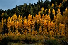 Glowing Aspen trees in fall colors, Wetmore, Colorado. One of these days I'll actually see them...