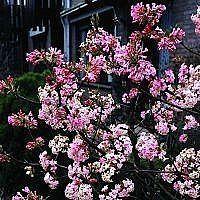 Kejserbusk (Viburnum bodnantense 'Charles Lamont') > Flere blomstrende buske > Buske - Blomstrende > planteshop.dk