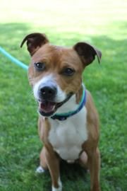Petango.com – Meet Drock, a 5 years Boxer / Terrier, Pit Bull available for adoption in Hagerstown, MD
