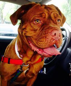 Aggie - Dogue de Bordeaux | Big Dogs Huge Paws, Inc
