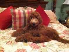"""""""Mickey"""" GoldenDoodle"""