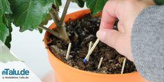 Kleine #Fliegen in der Pflanze wieder los werden