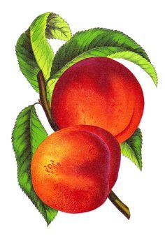 Vintage Peach Illustration Alberta from Vintage Seed Catalog,