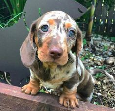 The Diverse Dachshund Breed - Champion Dogs Dachshund Breed, Dapple Dachshund, Daschund, Cute Baby Animals, Animals And Pets, Funny Animals, Cute Puppies, Cute Dogs, Dogs And Puppies
