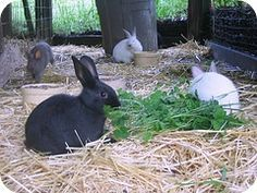 Rabbits: What they are for and what they are not. | The 104 Homestead (Includes an #Easter warning!!)