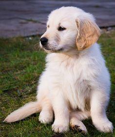Willow the Golden Retriever puppy