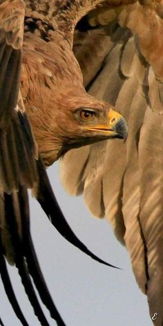 non mihi non tibi sed nobis: Photo Nature Animals, Animals And Pets, Beautiful Birds, Animals Beautiful, Rapace Diurne, Eagle Pictures, Animal Pictures, Wild Nature, Birds Of Prey