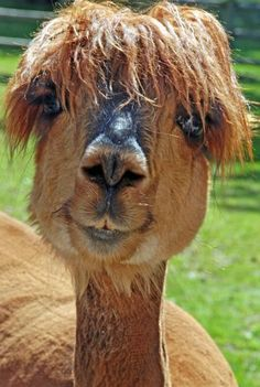 These hilarious pictures of flyaway fur and mohican-style manes show just what happens when animals have a bad hair day. From alpacas to be. Alpacas, Animals And Pets, Funny Animals, Cute Animals, Funny Animal Quotes, Animal Humor, Funny Quotes, Beautiful Creatures, Animals Beautiful