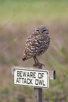 Beware of attack owl #Burrowing Owl