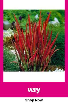 Landscaping Plants, Outdoor Landscaping, Outdoor Plants, Front Yard Landscaping, Imperata Red Baron, Japanese Plants, Edging Plants, Architectural Plants, Red Grass