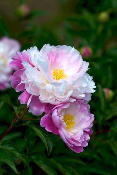 2011 Peony Peonies ◦●◦ ჱ ܓ ჱ ᴀ ρᴇᴀcᴇғυʟ ρᴀʀᴀᴅısᴇ ჱ ܓ ჱ ✿⊱╮ ♡ ❊ ** Buona giornata ** ❊ ~ ❤✿❤ ♫ ♥ X ღɱɧღ ❤ ~ Th Feb 2015 Beautiful Flowers Garden, All Flowers, Flowers Nature, Amazing Flowers, Pretty Flowers, Fresh Flowers, Beautiful Gardens, Nature Tree, Exotic Flowers