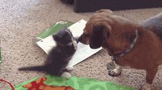 This kitty getting acquainted with his big brother's nose. | 42 Pictures That Will Restore Your Faith In Cute