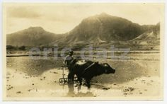 Original Vintage 1930's Photo~Water Buffalo, Honolulu, Hawaii, m27576 Water Buffalo, Honolulu Hawaii, 1930s, Dads, Horses, The Originals, World, Animals, Vintage