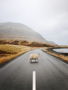 why did the sheep cross the road?
