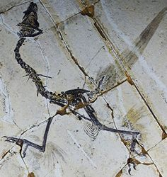 Arm and leg feathers in a fossil of the basal bird Sapeornis. (STMN) March 14, 2013 Did Four-Winged Birds and Dinos Fly the Ancient Skies? By Jennie Cohen 0