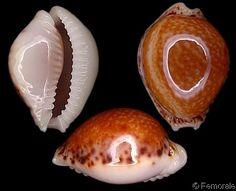 Cypraea_acicularis_algoensis.jpg