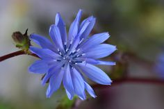 Common Wild Chicory: Cichorium intybus [Family: 	Asteraceae] - Flickr - Photo Sharing!